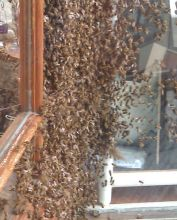 Пчелиная осада