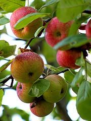 Как сохранит урожай яблок? Главная ошибка