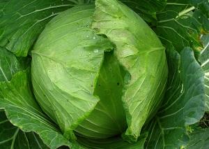 Как сохранить урожай капусты?