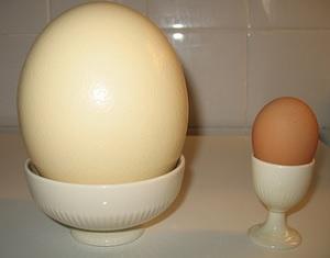 Как правильно выбрать и приготовить страусиное яйцо
