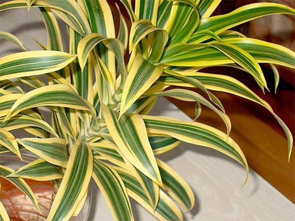 Dracaena deremensis 'Warneckii'
