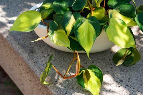 Philodendron oxycardium