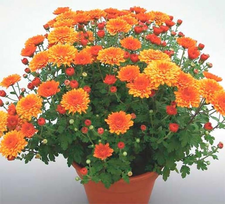 Уход за декоративными хризантемами в домашних условиях