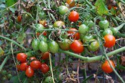 Как правильно организовать огород своими руками?