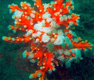 красный коралл