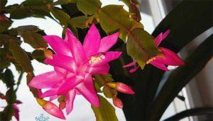 цветок Декабриста