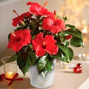 китайская роза в вазе