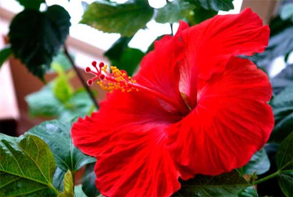 большой цветок китайской розы