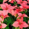 Цветок Рождественская звезда (Пуансеттия): приметы для дома и человека