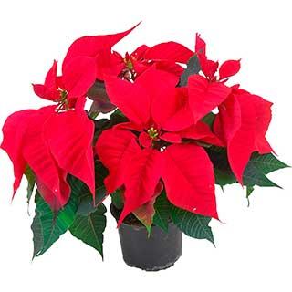 цветок Рождественская звезда