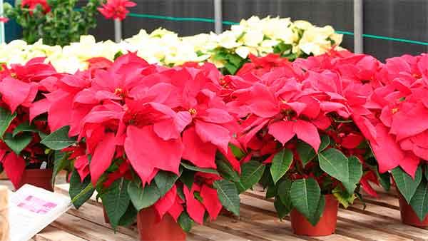 красные цветы в горшках