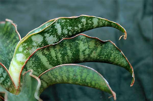 листья Сансевьеры