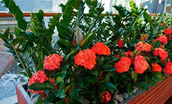цветение Замиокулькаса