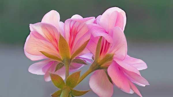 розовый цветочек