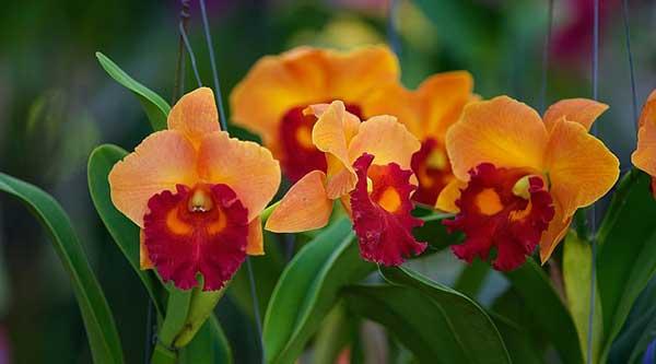 орхидея оранжевой расцветки