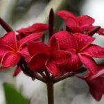 квасная орхидея