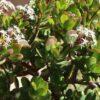 Можно или нет держать дома Денежное дерево: основные приметы