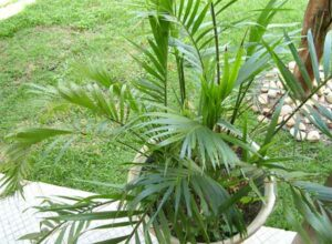 пальма Хамедорея на окне