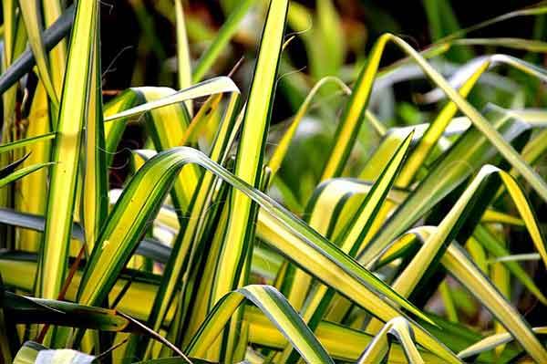 ростки зеленой лилии