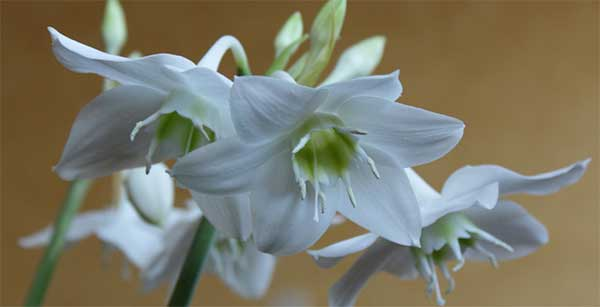 цветение Эухариса завораживает