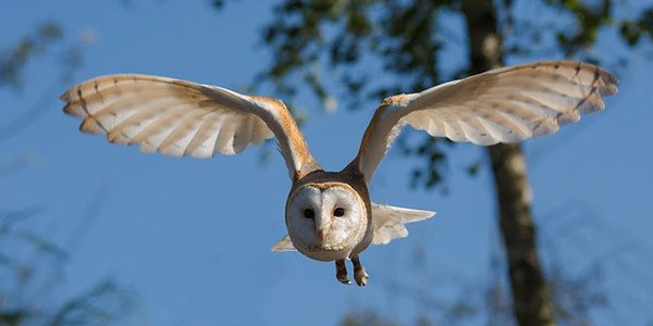 летящая сова
